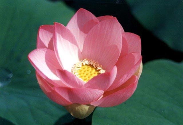 fiori di loto galleggiano in folte macchie sul Lago Superiore